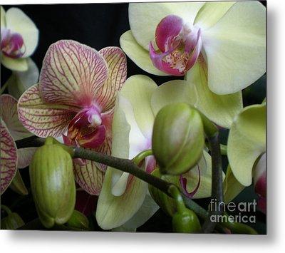 Budding Orchids  Metal Print