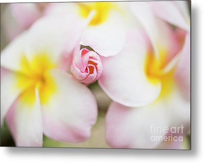 Budding Plumeria Cluster Metal Print by Charmian Vistaunet