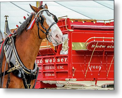 Budweiser Clydesdale In Full Dress Metal Print by Bill Gallagher