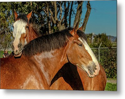Metal Print featuring the photograph Budweiser Clydesdales  by Bill Gallagher