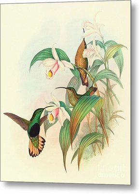 Buff Tailed Velvet Breast Metal Print by John Gould