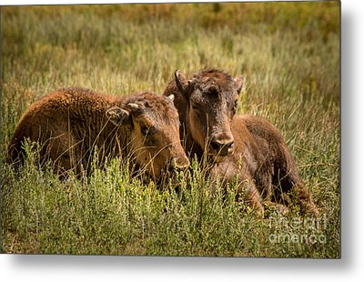 Metal Print featuring the photograph Buffalo Babes by The Forests Edge Photography - Diane Sandoval