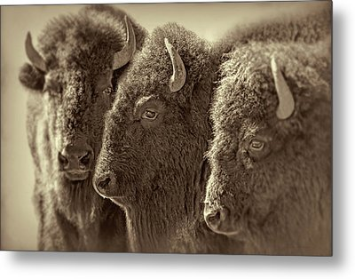 Metal Print featuring the photograph Trio American Bison Sepia Brown by Jennie Marie Schell