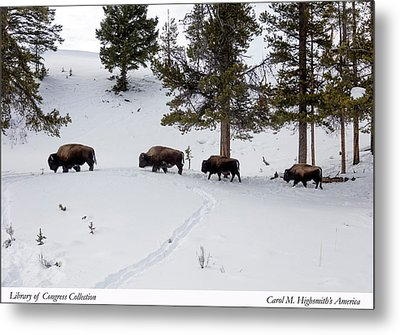 Buffaloes In Yellowstone National Park Metal Print by Carol M Highsmith