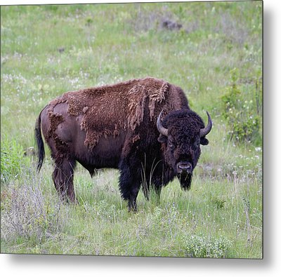 Bull Bison Starring Into The Camera Metal Print