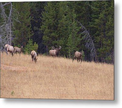 Bull Elk Bugling At Yellowstone Metal Print by David Wilkinson