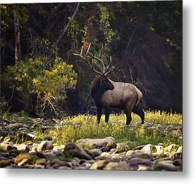Bull Elk Checking For Competition Metal Print by Michael Dougherty