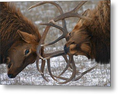 Bull Elk In The Rut-signed Metal Print by J L Woody Wooden