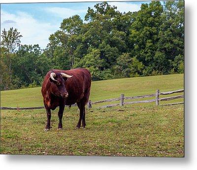 Bull In Field Metal Print
