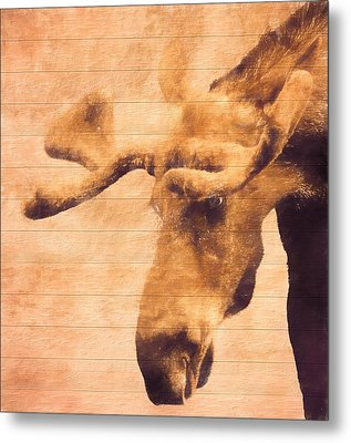Bull Moose Barn Door Metal Print