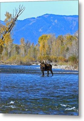 Bull Moose Crossing River Metal Print by Gary Langley