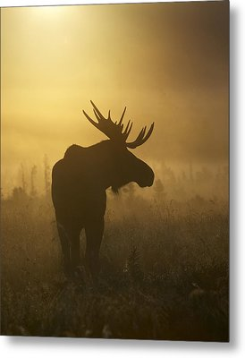 Bull Moose In Fog Metal Print by Tim Grams