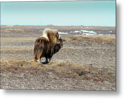 Bull Musk Ox Metal Print by Anthony Jones