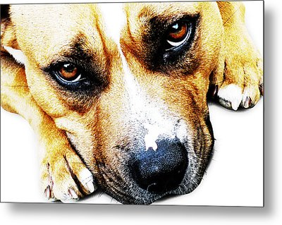 Bull Terrier Eyes Metal Print by Michael Tompsett