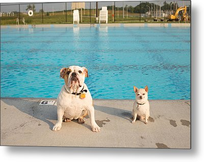 Bulldog And Chihuahua By The Pool Metal Print by Gillham Studios