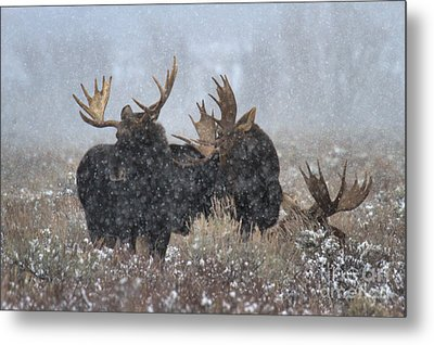 Metal Print featuring the photograph Bulls In The Snow by Adam Jewell