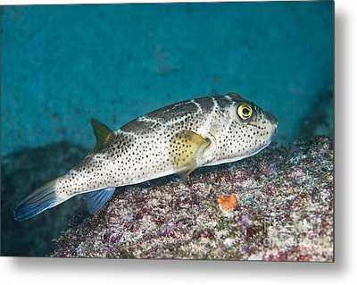 Bullseye Puffer - Galapagos Metal Print by Dave Fleetham - Printscapes