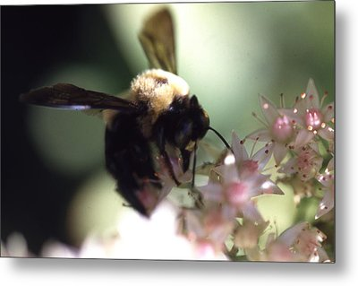 Bumblbee Bzzz Metal Print by Curtis J Neeley Jr