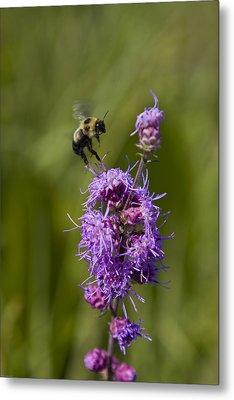 Bumble Bee Dance 8210 Metal Print