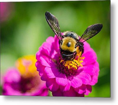 Bumble Bee Macro Image Metal Print