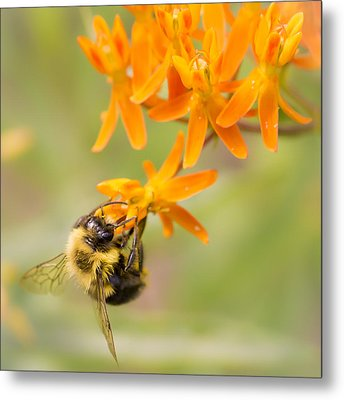 Bumble Bee On Butterfly Weed Metal Print