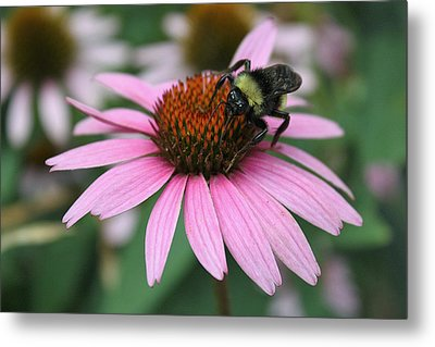 Bumble Bee On Pink Cone Flower Metal Print