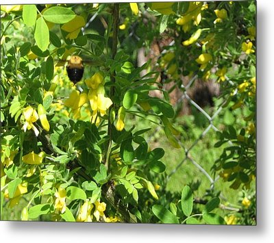 Bumblebee In Flight In Yellow Flowers Metal Print