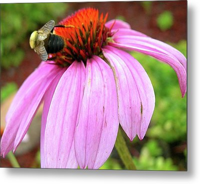 Bumblebee On Coneflower Metal Print by Randy Rosenberger