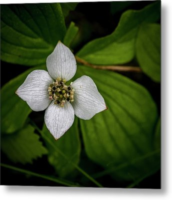 Metal Print featuring the photograph Bunchberry Dogwood On Gloomy Day by Darcy Michaelchuk