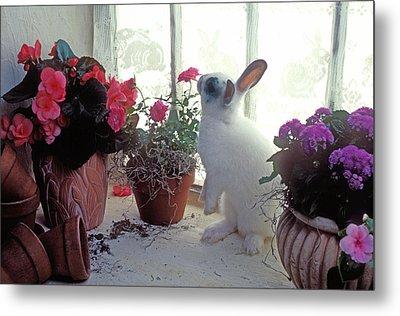 Bunny In Window Metal Print
