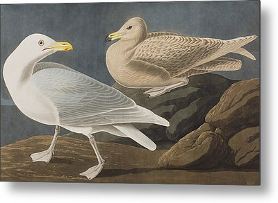 Burgomaster Gull Metal Print