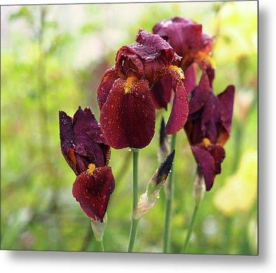 Burgundy Bearded Irises In The Rain Metal Print by Rona Black