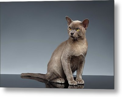 Burma Cat Sits And Loocking Up On Gray Metal Print by Sergey Taran