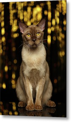 Burmese Cat Sits On New Year Background Metal Print by Sergey Taran