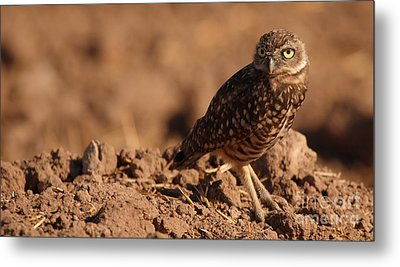Metal Print featuring the photograph Burrowing Owl Looking Back Over Shoulder by Max Allen
