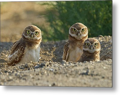 Burrowing Owls Metal Print by Doug Herr