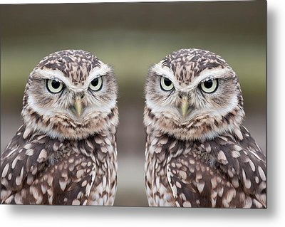 Burrowing Owls Metal Print