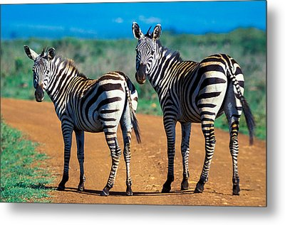 Bushnell's Zebras Metal Print by Tina Manley