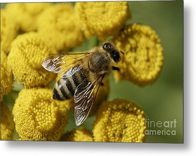 Busy Honey Bee Metal Print by John  Mitchell