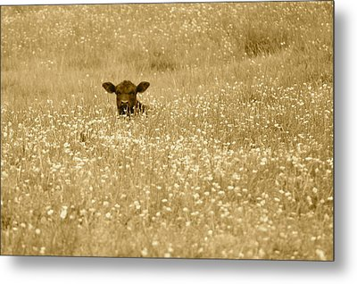 Buttercup In Sepia Metal Print
