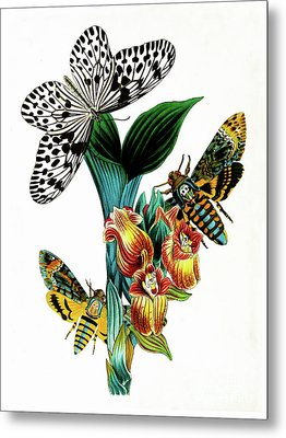 Butterflies, Moths And Orchids, Vintage Botanical Painting Metal Print by Tina Lavoie
