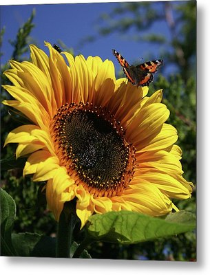 Butterfly And Sunflower Metal Print by Martina Fagan
