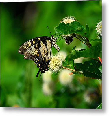 Butterfly And The Bee Sharing Metal Print by Kathy Eickenberg