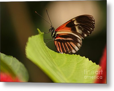 Butterfly Curling Edge Of Leaf Metal Print by Max Allen