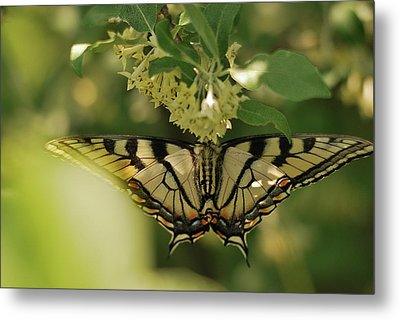 Metal Print featuring the photograph Butterfly From Another Side by Susan Capuano