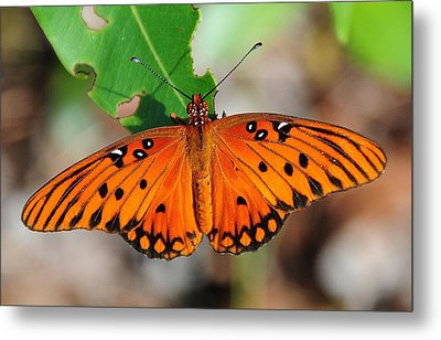 Butterfly In Feast Metal Print