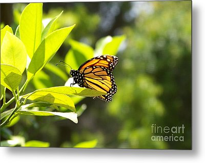Metal Print featuring the photograph Butterfly In Sunlight by Carol  Bradley