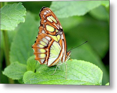 Butterfly On Leaf Metal Print by Meta Gatschenberger