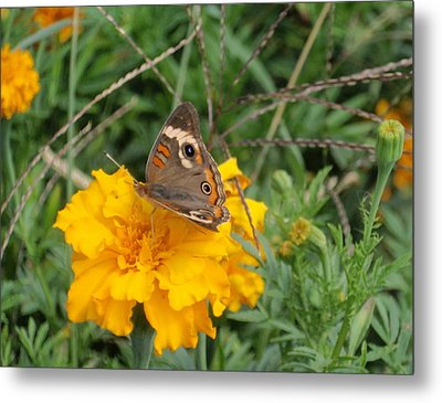 Metal Print featuring the photograph Butterfly On Marigold by Beth Akerman