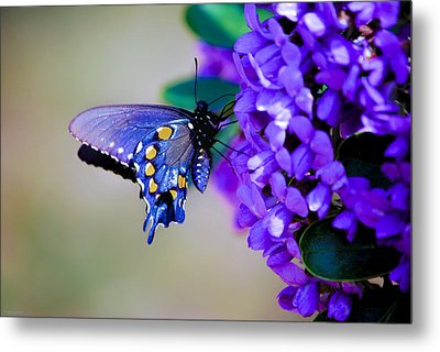 Metal Print featuring the photograph Butterfly On Mountain Laurel by Debbie Karnes